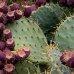 prickly-pear-cactus-150x150