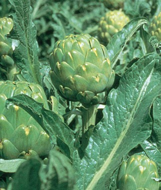 Artichokes-Can-Grow-Well-In-Northwest-Vegetable-Gardens