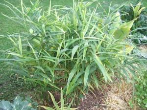 Ginger-Plant-300x225
