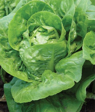 Lettuces-Are-a-Good-Choice-for-Northwest-Vegetable-Gardens