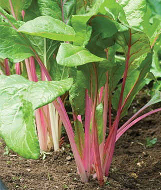Swiss-Chard-Is-a-Great-Choice-for-Northwest-Vegetable-Gardens