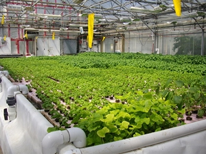 aquaponics-can-provide-a-longer-growing-season-resulting-in-more-loc_16001042_51517_0_14095565_300