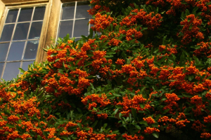 pyracantha-resized-600-300x200