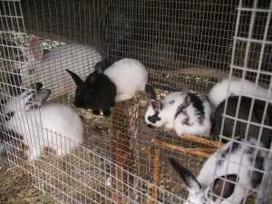 4023-rabbit-5-week-old-babies-8-in-a-cage-300x225