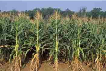 field_corn