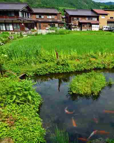 japanese-koi-rice-paddy-814x1024
