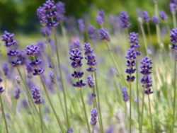lavender-300x225