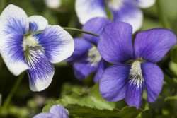 violets-300x200