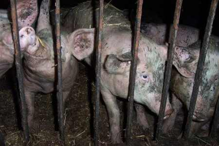 Pigs-Photo-by-Maqi-450x299